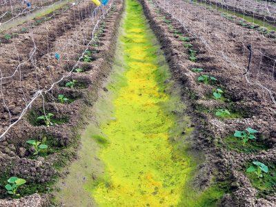 作物施肥過量,畦間有多餘的肥分及水分,很容易就長出青苔。(圖片來源/豐年社資料庫)