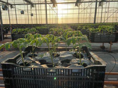 微醺農場利用溫室離地式「介質土」技術,可以穩定生產、保障獲利。